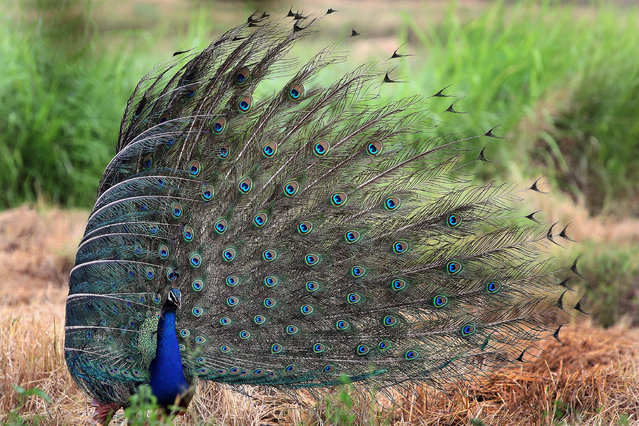 A peacock spreads its plumes during its dance to attract a mate at Damminna, 270 kms from Colombo, Sri Lanka, 18 March 2019. The peacock or peafowl (Pavo cristatus) are commonly found in the dry areas of Sri Lanka. While only the male birds possess the colourful and majestic tail plumes, the Hindus regard these birds with veneration since they believe that it is the mount of God Skanda or Murugan. (Photo by M.A. Pushpa Kumara/EPA/EFE)