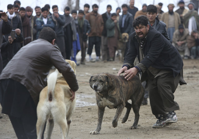 Dog owners attend a weekly dogfighting event in Paghman district of Kabul, Afghanistan, Friday, February 17, 2017. Dogfighting is a popular form of entertainment during the winter season in Afghanistan as public matches are held every Friday, which is the official weekly holiday in the country. Dogs do not fight until death but rather until one dog pins another, or one of the fighters runs away. (Photo by Rahmat Gul/AP Photo)