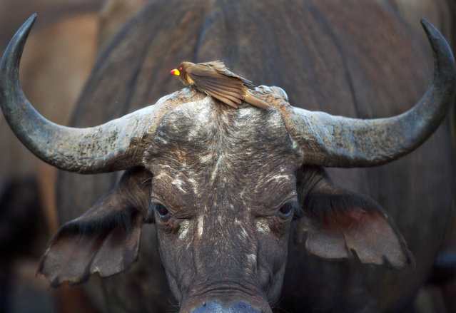 A red- billed oxpecker rests on the head of a female bufallo at a water hole at the Tsavo West National Park, near Voi, around 350 kilometres southeast of Nairobi, on February 16, 2017. The Kenya Wildlife Services (KWS) conduct a large mammal aerial observation over the 48,656 square- kilometre Tsavo- Mkomkazi ecosystem that straddles the Kenya- Tanzania border, to gather data on elephants and other mammals, about their numbers, movement and water/ pasture resources. (Photo by Tony Karumba/AFP Photo)