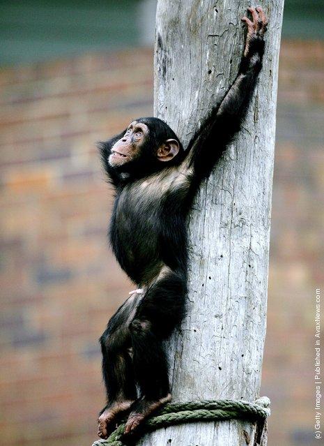 A baby Chimpanzee plays in its enclosure at Taronga Zoo