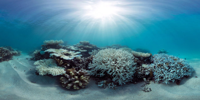 This May 2016 photo released by The Ocean Agency/XL Catlin Seaview Survey shows coral that has bleached white due to heat stress in the Maldives. (Photo by The Ocean Agency/XL Catlin Seaview Survey via AP Photo)