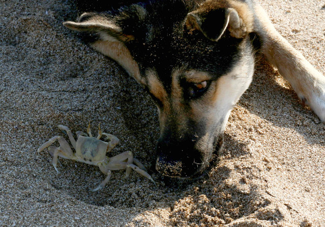 A picture taken on July 31, 2019 shows a dog looking at a crab on the sandy beach of al-Mansouri near Lebanon's southern city of Tyre. (Photo by Mahmoud Zayyat/AFP Photo)