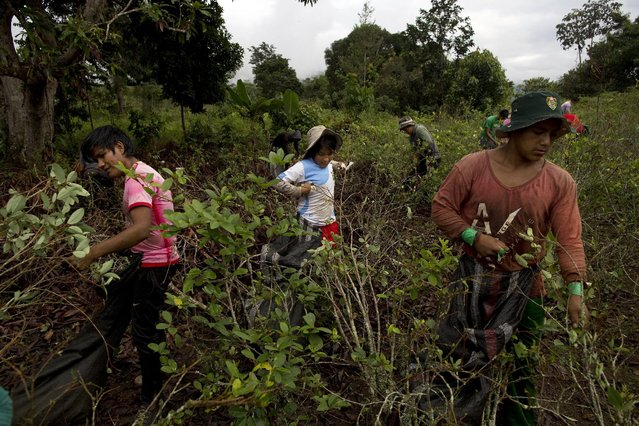 In this June 20, 2015 photo, youth pick coca leaves in Samugari, Peru. Most of the residents of the area depend on coca production for a living. (Photo by Rodrigo Abd/AP Photo)