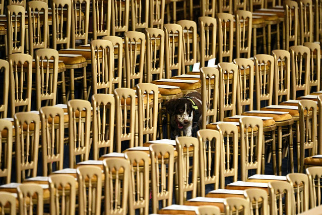 A search dog patrols the Royal Gallery ahead of the State Opening of Parliament at the Palace of Westminster  in London, Britain on October 14, 2019. (Photo by Leon Neal/Pool via Reuters)