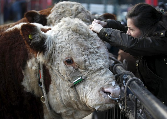 A veterinarian checks a Polled Hereford breed bull ahead of the 129th annual Argentine Rural Society's Palermo livestock and agriculture camp exhibition, which includes an extensive range of cattle, farm animals and machinery in Buenos Aires, Argentina, July 21, 2015. (Photo by Enrique Marcarian/Reuters)