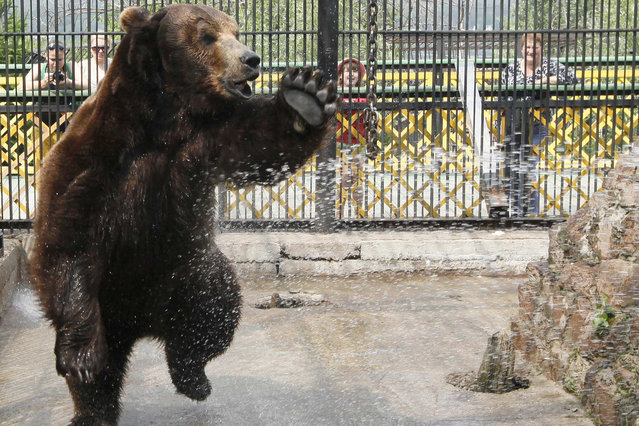 Buyan, a male Siberian brown bear, is given a shower by a zoo employee in his enclosure at the Royev Ruchey zoo in Russia's Siberian city of Krasnoyarsk June 24, 2014. The Siberian city has been experiencing temperatures of around 30 degrees Celsius over the last week. (Photo by Ilya Naymushin/Reuters)