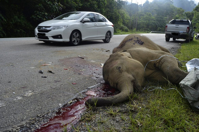 """A handout photo made available by the Management and Ecology of Malaysian Elephants (MEME) on 19 June 2017 shows a dead two-year-old baby elephant that was reportedly killed by a car on the side of the Gerik-Jeli Highway, Perak state, Malaysia, 17 June 2017. """"We have already erected signboards to notify motorists that there would be elephants crossings along the stretch of the highway, so they need to be more responsible, especially when they are driving late at night or early in the morning"""", Perak Department of Wildlife and National Parks (Perhilitan) director Loo Kean Seong said. Highways across Malaysia warn motorists with signs to be aware of wildlife crossing roads. (Photo by Alicia Solana-Mena/EPA/Meme)"""