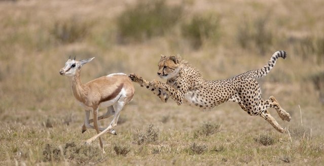 Cheetah pursuing a springbok. (Photo by Wim van den Heever/Caters News)
