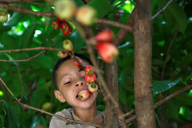 "Yasir Camelo, 5, eats a tropical fruit called ""pomarosa"" on a tree in front of his house in La Fria, Venezuela, June 1, 2016. (Photo by Carlos Garcia Rawlins/Reuters)"
