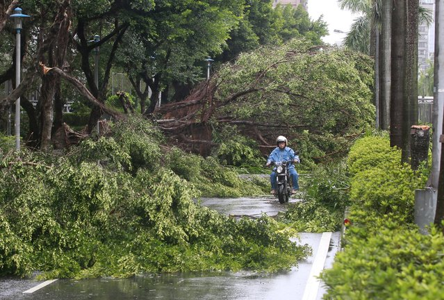 A motorcyclist rides among trees uprooted by strong winds from Typhoon Soudelor in Taipei, Taiwan, August 8, 2015. A powerful typhoon battered Taiwan on Saturday with strong wind and torrential rain, cutting power to nearly 3 million households and killing four people. (Photo by Pichi Chuang/Reuters)