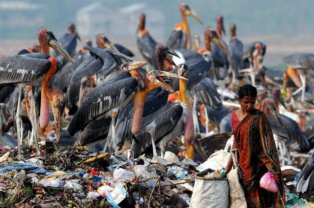An Indian rag picker searches for material next to a group of greater adjutant storks at a rubbish dump near Deepor Beel Wildlife Sanctuary on the outskirts of Guwahati city, India, May 10, 2012
