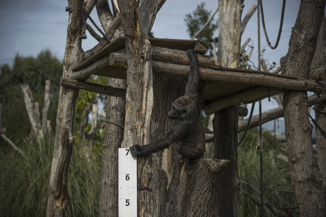 """A female Western Lowland Gorilla stands next to a large measuring stick during a photocall to promote the London Zoo annual """"weigh-in"""" event on August 24, 2017 in London, England. (Photo by Dan Kitwood/Getty Images)"""