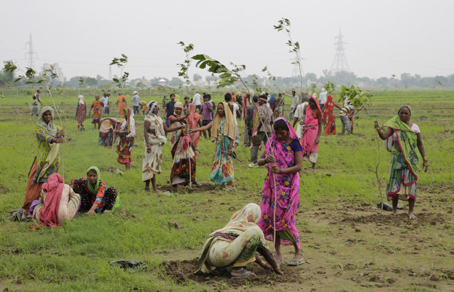 Indian women plant saplings on the outskirts of Allahabad, India, Monday, July 11, 2016. Hundreds of thousands of people in India's most populous state Uttar Pradesh are jostling for space as they attempt to plant 50 million trees over the next 24 hours in hopes of setting a world record. (Photo by Rajesh Kumar Singh/AP Photo)