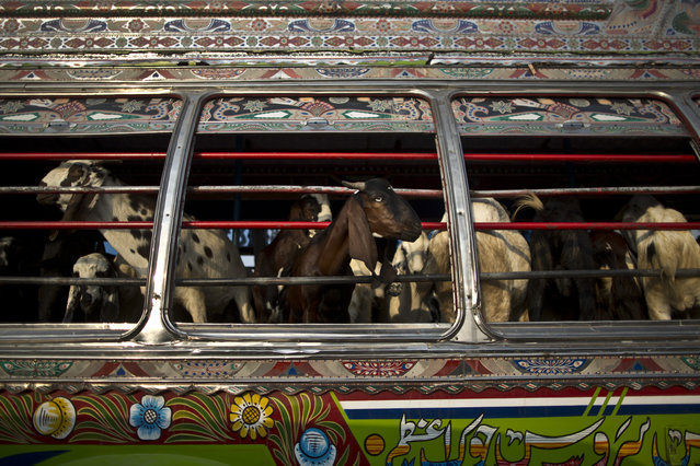"""Goats look out of a bus window, while being transported to a near by livestock market, to be displayed for sale in preparation for the upcoming Muslim holiday of Eid al-Adha, or """"Feast of Sacrifice"""", on the outskirts of Islamabad, Pakistan, Thursday, October 2, 2014.  (Photo by Muhammed Muheisen/AP Photo)"""
