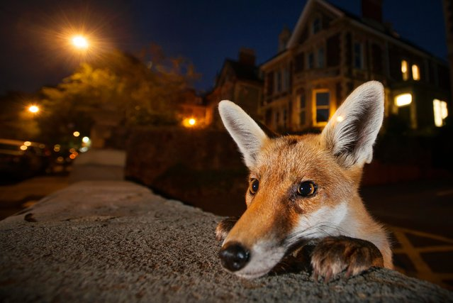 Nosy neighbour by Sam Hobson, UK. Sam knew exactly who to expect when he set his camera on the wall one summer's evening in a suburban street in Bristol, the UK's famous fox city. He wanted to capture the inquisitive nature of the urban red fox in a way that would pique the curiosity of its human neighbours about the wildlife around them. (Photo by Sam Hobson/2016 Wildlife Photographer of the Year)