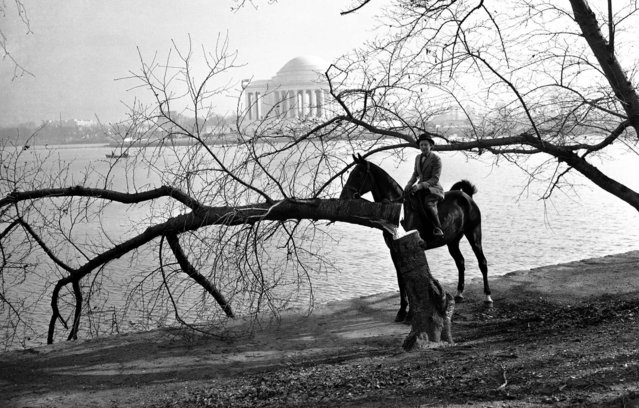"Joy Cummings examines a Japanese cherry tree that was cut down had the words ""To hell with those Japanese"", carved into it, December 10, 1941. Irving C. Root, Parks Commissioner, termed it vandalism.  In the background is the recently completed Jefferson Memorial. (Photo by Associated Press)"