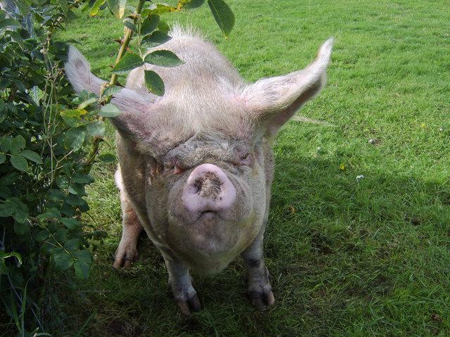 """Piggin Gorgeous"". (Photo by Maureen)"