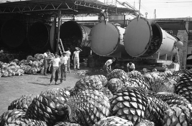 Looking like giant pineapples or perhaps pine cones, the cores of Mexico's century plant, are harvested and cooked to provide the basic juices from which the country's famous liquor - tequila - is made in Mexico on October 8, 1964. A move is underway to refine the Aztec-originated drink to bring it closer on the social scale to such sophisticated liquors as scotch. (Photo by AP Photo)