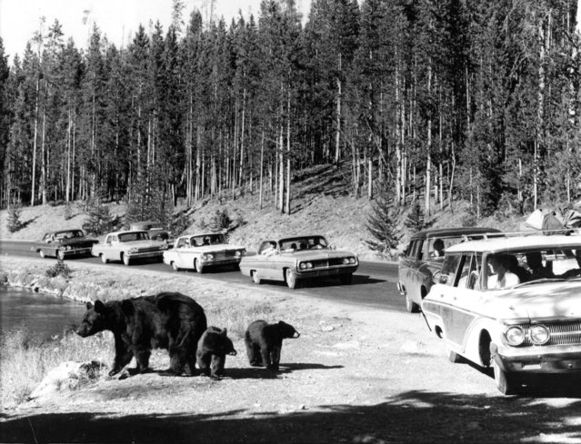 Dangerous Beggars. Mother bear in Yellowstone National Park walks away from cars at roadside, but her cubs look for a handout. Although it's forbidden by Federal Law, thousands of tourists each year stop to feed the bears, and each year 50 to 100 wind up with scratches or teeth marks on their face and hands. September 09, 1968. (Photo by New York Post/Photo Archives, LLC via Getty Images)