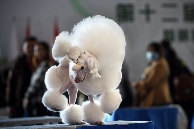 A mini poodle plays on a desk after competition at the 2014 China International Pet Show in Beijing on November 17, 2014. The China International Pet Show (CIPS) will take place from November 17 to 20. (Photo by Wang Zhao/AFP Photo)