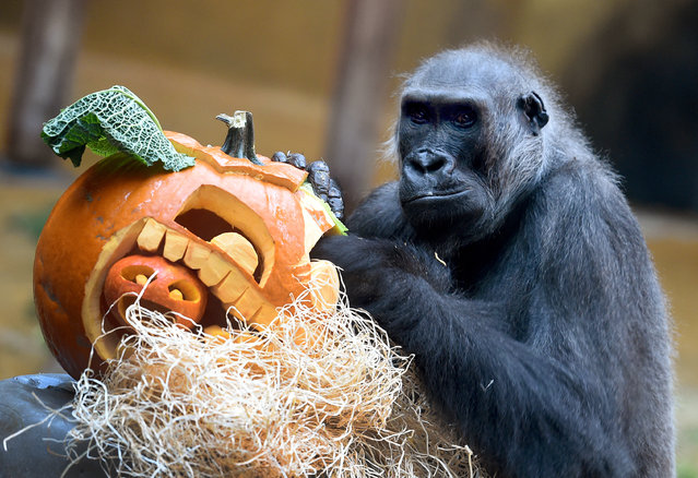 Female Gorilla Kathi reaches into a pumpkin carved with a Halloween face and filled with oats and nuts in the Adventure Zoo in Hanover, Germany, October 22,  2015. (Photo by Holger Hollemann/EPA)