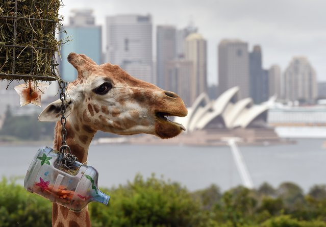 A Giraffe enjoys its Christmas treats as they discover some gift-wrapped food treats and other tasty decorations in their exhibit at Taronga Zoo, in Sydney on December 9, 2014. Animals at the zoo were quick to pounce on the festive-themed enrichment items prepared by keepers, showing off their natural foraging skills to uncover the food inside while some seemed just as happy playing with the cardboard box packaging. (Photo by William West/AFP Photo)