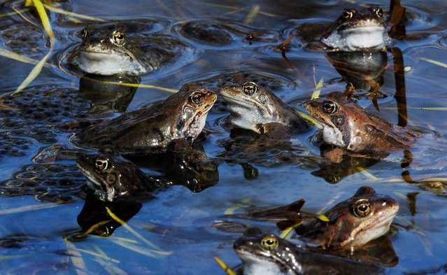Frogs spawn in a pond outside St. Petersburg, Russia, on April 26, 2013. (Photo by Dmitry Lovetsky/Associated Press)