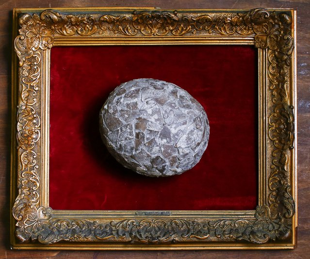 An egg of a dinosaur, believed to be 65-million-years old, is displayed in an old frame in the Museum of Domenico Agostinelli in Dragona, near Rome October 30, 2014. (Photo by Tony Gentile/Reuters)