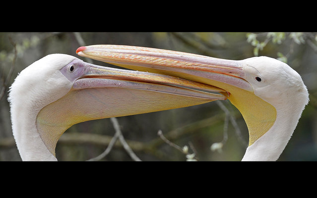 Great white pelicans play in the Dresden Zoo in eastern Germany, on April 29, 2013 (Photo by Jens Meyer/AP Photo)