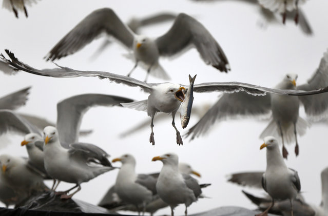 A gull flips a herring in order to swallow it whole while flying away with a meal robbed from a delivery truck, Wednesday, July 8, 2015, in Rockland, Maine. Herring is primarily used for lobster bait, with a small percentage of it going to the sardine industry. (Photo by Robert F. Bukaty/AP Photo)