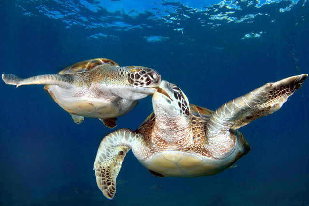 Synchronized Swimming Turtles