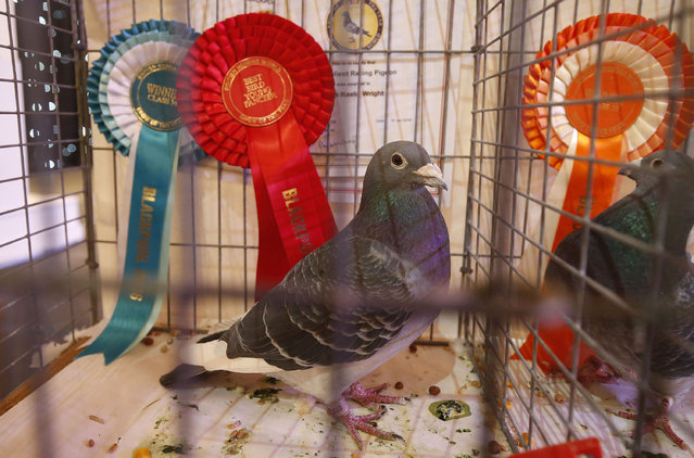 A prize winning pigeon is seen on show during the British Homing World show of the year at Blackpool's Winter Gardens in Blackpool, north west England on January 17, 2016. (Photo by Andrew Yates/Reuters)