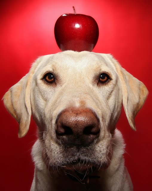 Winston with an apple on his head during one of his portraits. (Photo by Scott Cromwell/Caters News)