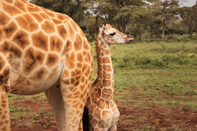 Giraffes give birth standing up, requiring the newborn to fall approximately two metres to the ground. But within the first hour a newborn can already stand up and run. (Photo by Klaus Thymann)