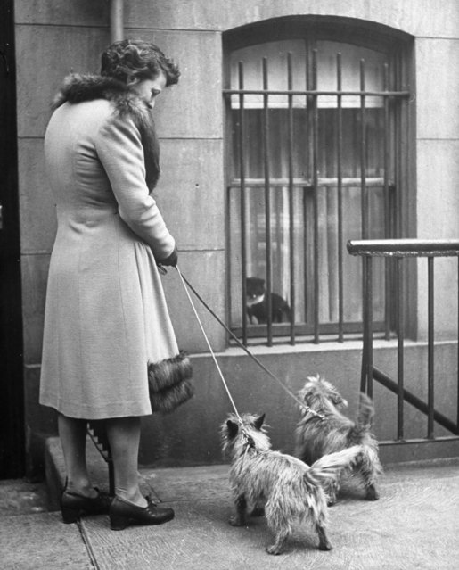 Actress Margaret Webster w. her two Cairn terriers who are showing great interest in a cat perched in window of building. (Photo by Nina Leen/Pix Inc./The LIFE Picture Collection/Getty Images)