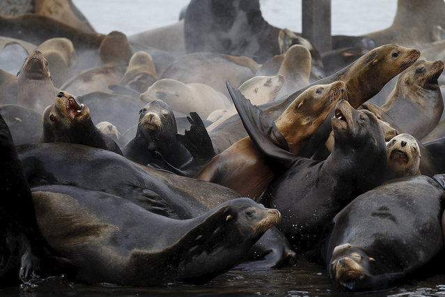 Sea lions lay on marina docks in Astoria, Oregon March 29, 2015. (Photo by Steve Dipaola/Reuters)