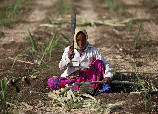 A female worker cuts sugarcane in a field in Degaon village in Solapur district of Maharashtra, December 18, 2015. (Photo by Danish Siddiqui/Reuters)