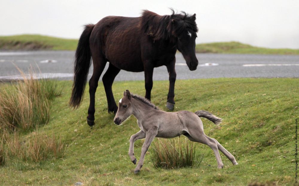 Dartmoor Ponies Enter Foaling Season
