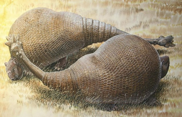 Two armadillo-like creatures named Doedicurus are shown in this artist's rendering handout provided by Peter Schouten on February 22, 2016. DNA coaxed out of a 12,000-year-old fossil from Argentina is providing unique insight into one of the strangest Ice Age giants: a tank-like mammal the size of a small car with a bulbous bony shell and a spiky, club-shaped tail. (Photo by Peter Schouten/Reuters)