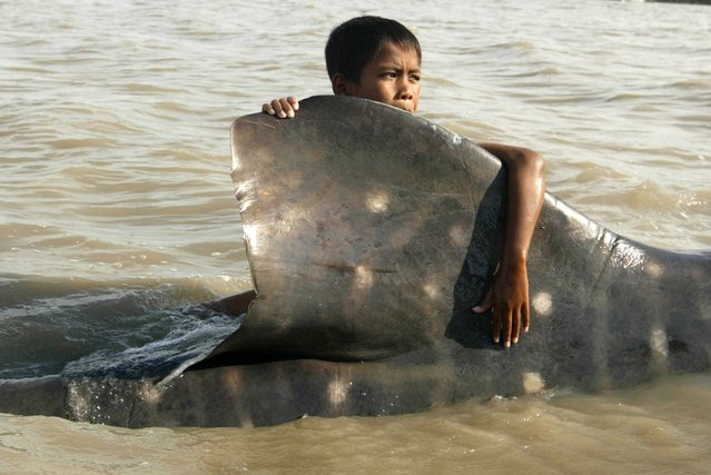 An Indonesian youth clings on the dorsal fin of a beached whale shark as fishermen prepare to pull it back to the sea at Kenjeran beach in Surabaya, East Java, Indonesia, Tuesday, October 22, 2013. The whale was survived and successfully released back into the sea. (Photo by AP Photo/Trisnadi)
