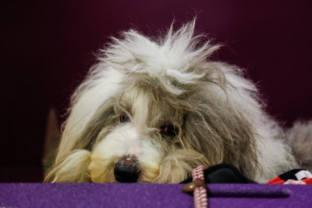An Old English Sheepdog is seen backstage at the 141st Westminster Kennel Club Dog Show, in New York City, U.S. February 13, 2017. (Photo by Stephanie Keith/Reuters)