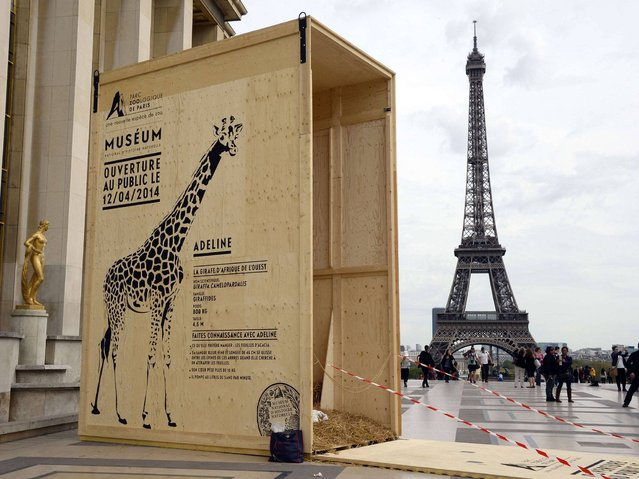 A picture shows the transport container of the giraffe of Paris' Vincennes zoo, displayed on the Trocadero Esplanade near the Eiffel Tower in Paris on April 7, 2014, to announce the re-opening of the zoo on April 12 after several years of renovation. (Photo by Bertrand Guay/AFP Photo)