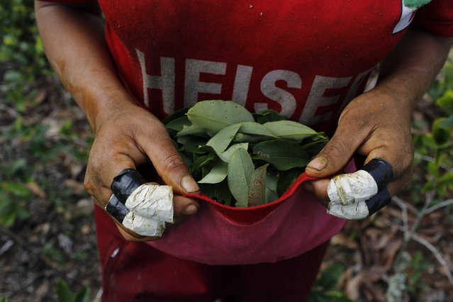 In this June 20, 2015 photo, Niberta Galvez uses the bottom half of his shirt to collect coca leaves in Samugari, Peru. Coca farmers were among the locals who, in 1984, formed citizen militias to help the military beat back Shining Path rebels, reducing them to a small group of fewer than 500 who now are deeply involved in drug trafficking. (Photo by Rodrigo Abd/AP Photo)