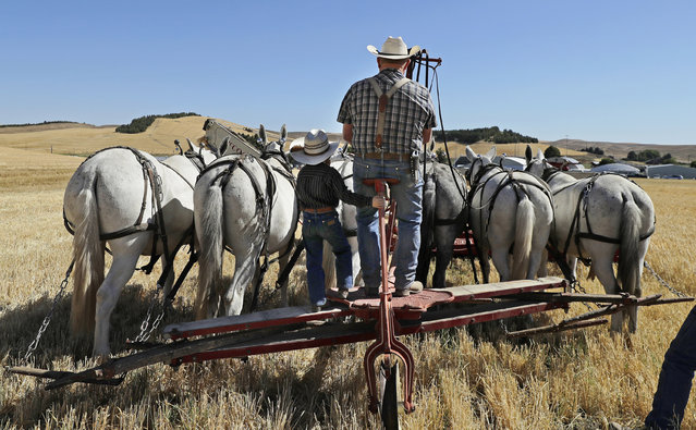 In this September 2, 2019 photo, Stan Riebold, right, drives a team of six Percheron mules as his grandson Wyatt Erickson, 5, holds on for the ride, near Colfax, Wash. The mules were pushing a combine header to harvest barley during an annual demonstration by members of the Palouse Empire Threshing Bee Association, a group dedicated to preserving the way land was farmed decades ago. (Photo by Ted S. Warren/AP Photo)