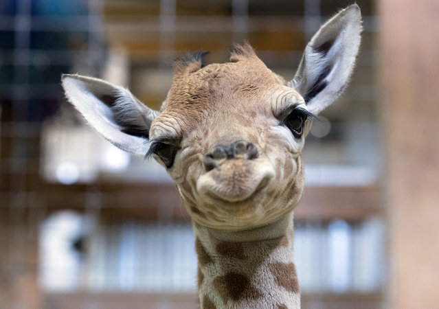 One-day-old baby giraffe calf Gus looks at the camera at Noah's Ark farm on May 12, 2017 in Bristol, England. The baby giraffe was born yesterday at the zoo farm in North Somerset. In the wild, populations of giraffes are suffering from a continuing decline, with 97,500 estimated in Africa in 2015. Since 1985 the total giraffe population has fallen by 35%. New arrival Gus joins brothers George, 4 and Geoffrey, 2. (Photo by Matt Cardy/Getty Images)