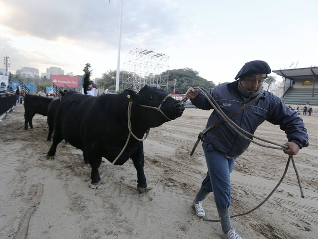 An Aberdeen Angus breed bull is led into a corral ahead of the 129th annual Argentine Rural Society's Palermo livestock and agriculture camp exhibition, which include an extensive range of cattle, farm animals and machinery in Buenos Aires, Argentina, July 21, 2015. (Photo by Enrique Marcarian/Reuters)