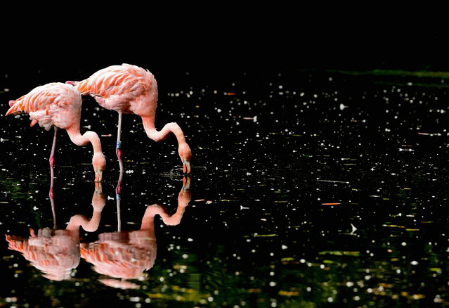 Two flamingos are pictured in their enclosure in Dresden Zoo in Dresden, Germany, 18 September 2019. (Photo by Filip Singer/EPA/EFE)