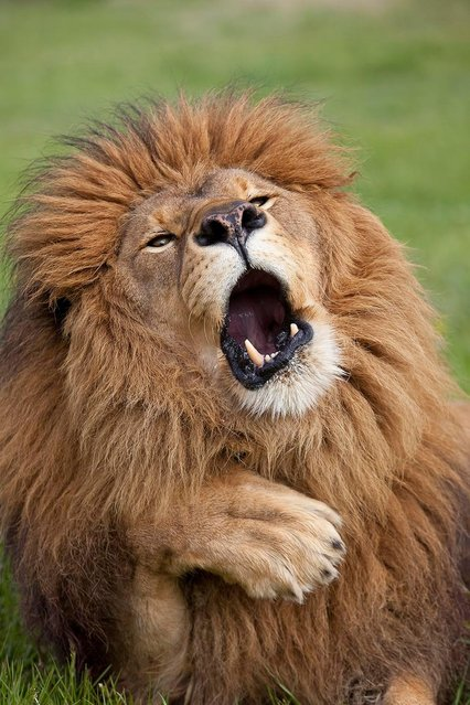 """A lion does his best Carry On impression in Gill Merritt's """"Oooh matron – carry on up the jungle!"""" taken on June 1, 2012 in Tanzania. (Photo by Gill Merritt/CWPA/Barcroft Images)"""