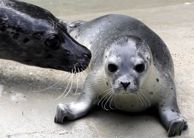 A six-day-old, unnamed seal cub lies under the watchful gaze of its mother, Inga