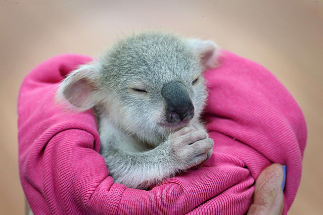 "An adorable baby koala is seen enjoying a snooze after a traumatic start to life. The baby koala, nicknamed ""Blondie Bumstead"", is being cared for by a volunteer from the Ipswich Koala protection society in Queensland after her mother was killed by a dog. (Photo by Jamie Hanson/Newspix/REX Features)"